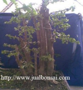 gula gemantung 279x300 Terima Order Bonsai dari Bapak Bambang Prasodjo, Bogor