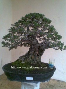 Bonsai Indonesia