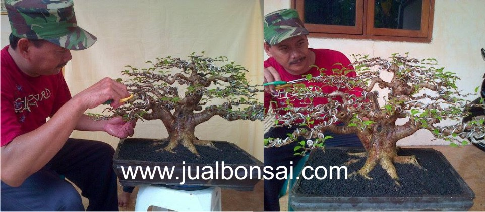 Jual Bonsai Murah, Pohon, Tanaman, Indonesia, Asia