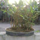 280. Bambu mini gaya grouping
